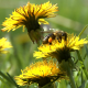 Bee Collecting Pollen - VideoHive Item for Sale
