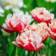 Pink And White Tulips - VideoHive Item for Sale
