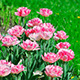 Pink Tulips On Green Grass - VideoHive Item for Sale