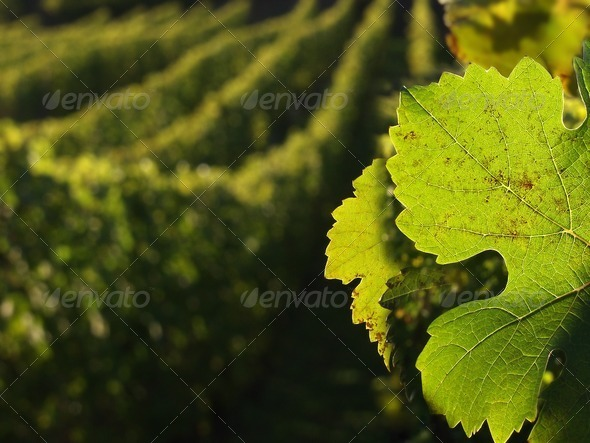 PhotoDune alsacian vineyards 279304