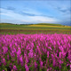 Meadow Sage And Timelapse Clouds - VideoHive Item for Sale