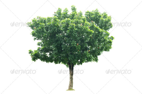 Green tree isolated on white - Stock Photo - Images