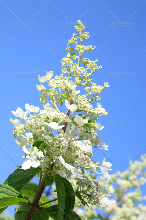 Hydrangea - Stock Photo - Images