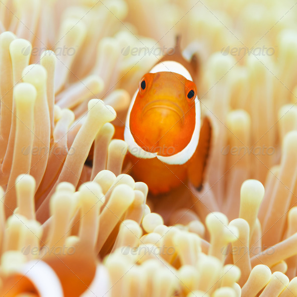 Clownfish - Stock Photo - Images