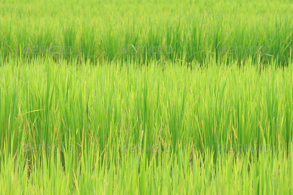rice field background - Stock Photo - Images