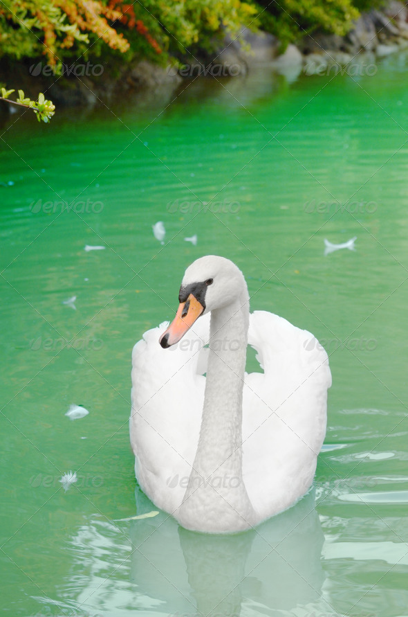 Beautiful white swan - Stock Photo - Images