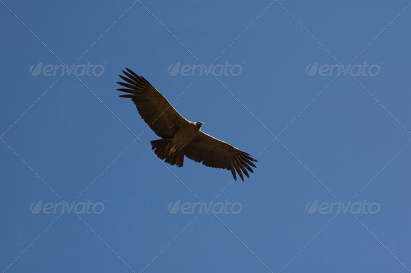 PhotoDune Condor 4049398