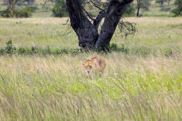 PhotoDune Lioness Safari in the Serengeti National Park Tanzania 4049395