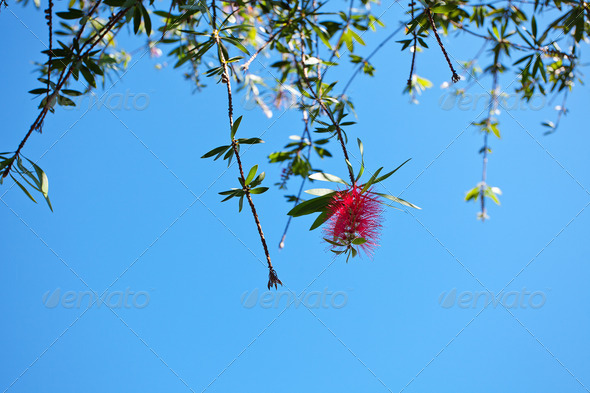 pink flowers on a green tree on sky background - Stock Photo - Images
