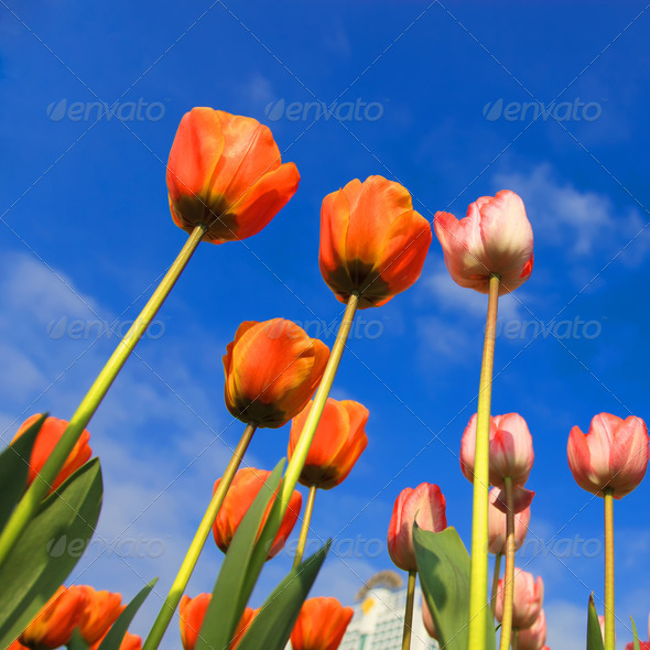 blossoming tulips - Stock Photo - Images