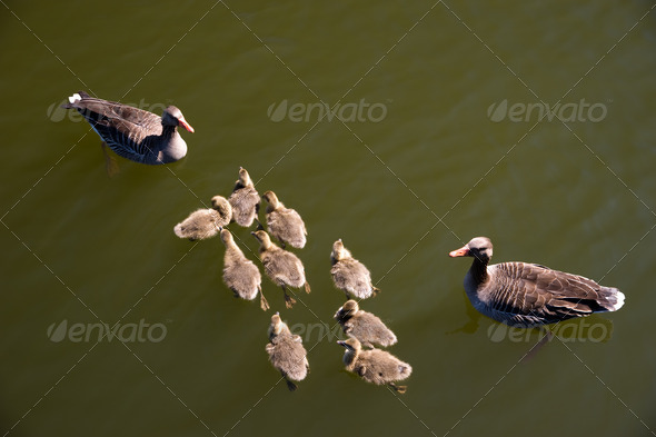 Duck with young - Stock Photo - Images
