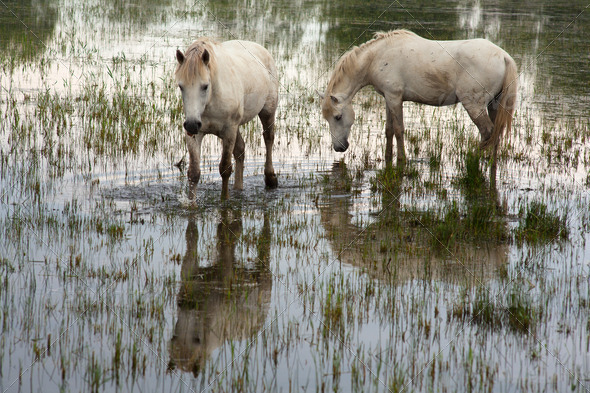 Camargue horses - Stock Photo - Images