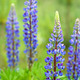 lupines - PhotoDune Item for Sale