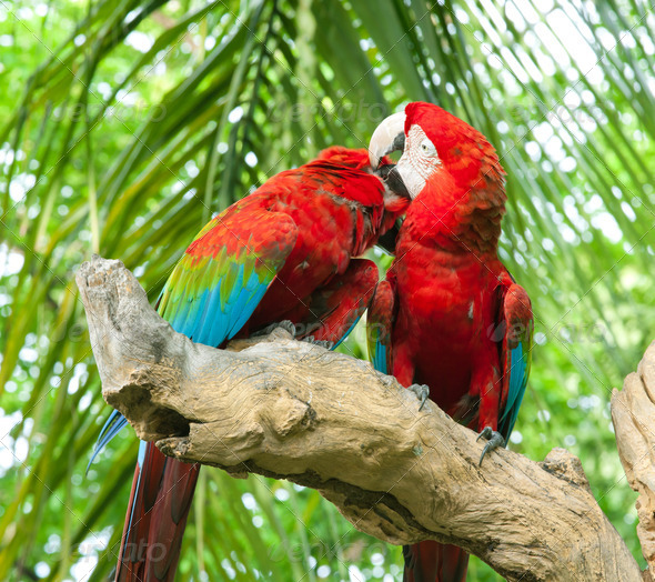 couple macaw - Stock Photo - Images
