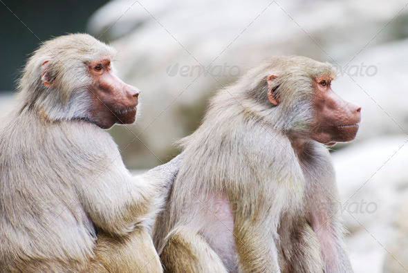 Baboons - Stock Photo - Images