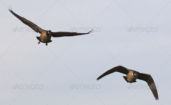 Two Ducks in Flight - Stock Photo - Images