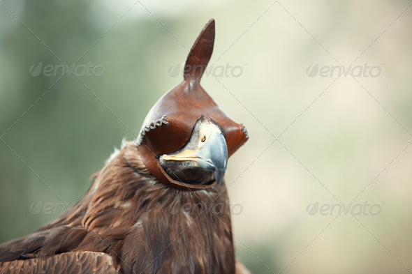 Hunting falcon - Stock Photo - Images