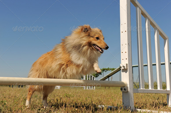 shetland in agility - Stock Photo - Images
