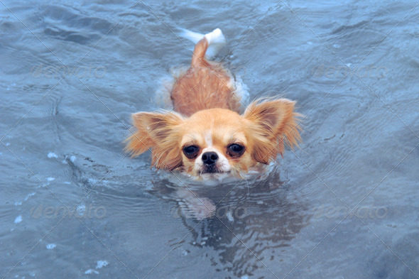 swimming chihuahua - Stock Photo - Images
