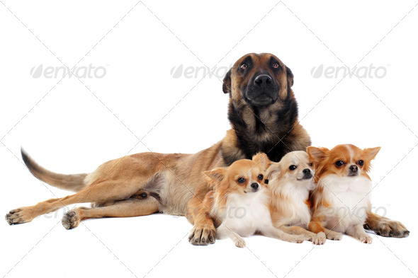 chihuahuas and malinois - Stock Photo - Images