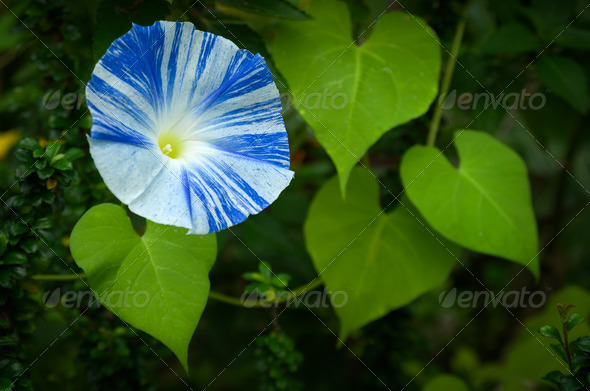 Blue and White Morning Glory Flower - Stock Photo - Images