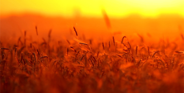 [VideoHive 2569878]  Wheat At Sunset  | Stock Footage