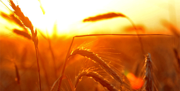 [VideoHive 2569919] Wheat At Sunset | Stock Footage