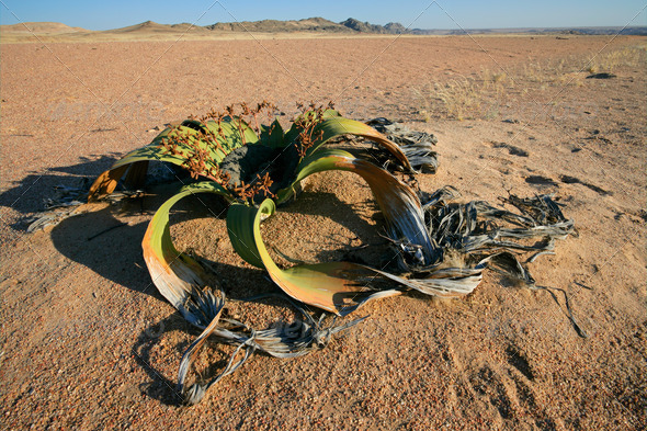 Welwitschia, Namib desert - Stock Photo - Images