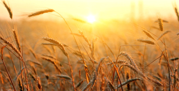[VideoHive 2569938]  Wheat At Sunset | Stock Footage