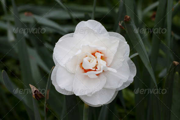 White daffodil blossom in the park. - Stock Photo - Images