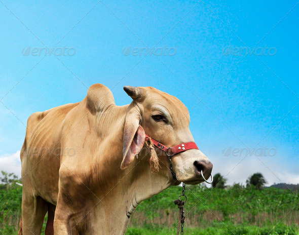 cow in the farm - Stock Photo - Images