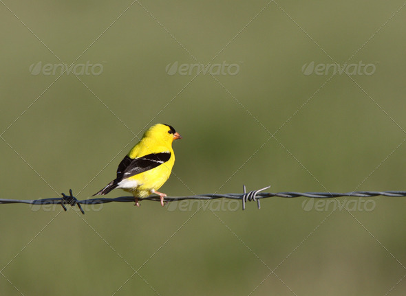 American Goldfinch perched on wire - Stock Photo - Images