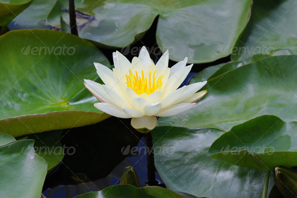 Beautiful yellow water lily  - Stock Photo - Images
