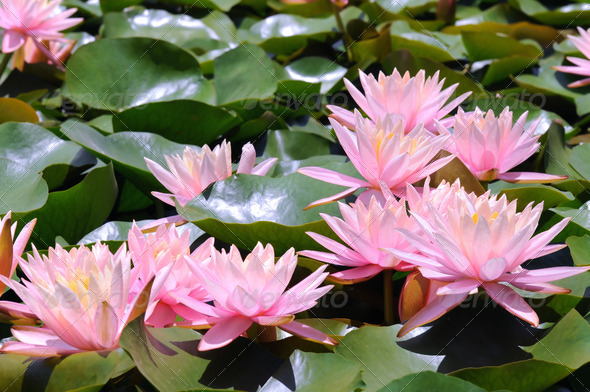 Beautiful pink water lilies  - Stock Photo - Images
