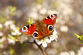 butterfly on a apricot flower - PhotoDune Item for Sale