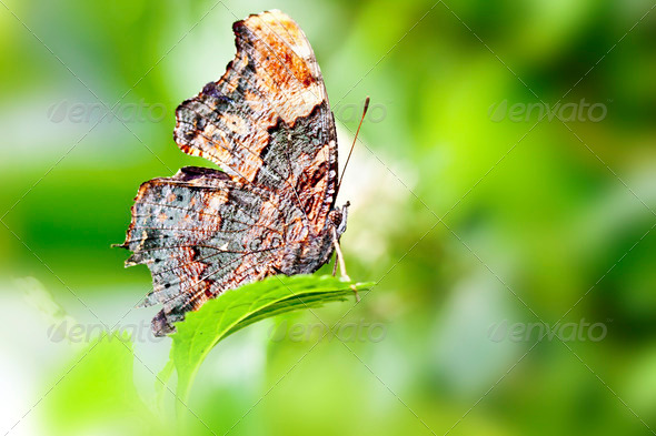 butterfly Kaniska canace drilon - Stock Photo - Images