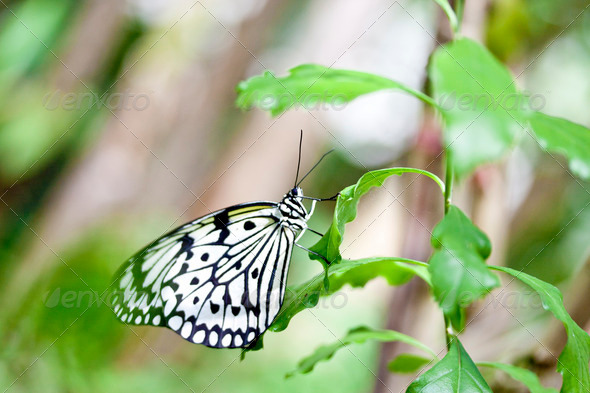 butterfly Idea leuconoe clara - Stock Photo - Images