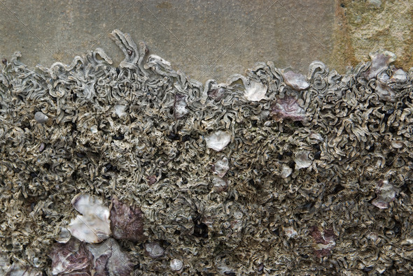 Barnacles and mussels stuck on the wall. - Stock Photo - Images