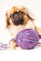 Pekingese dog a white background with space for text - PhotoDune Item for Sale