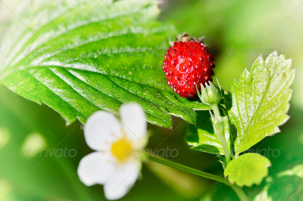 Wild strawberry - Stock Photo - Images