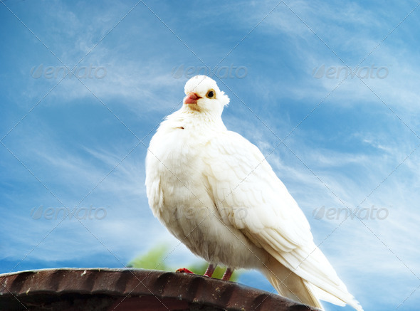 White Dove - Stock Photo - Images