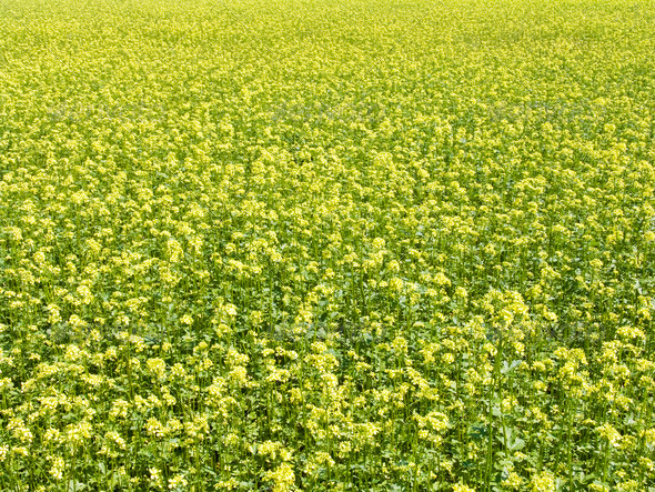 rape field - Stock Photo - Images