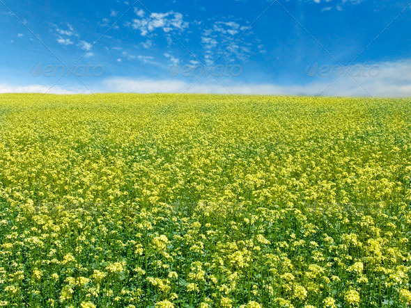 rape field and sky - Stock Photo - Images
