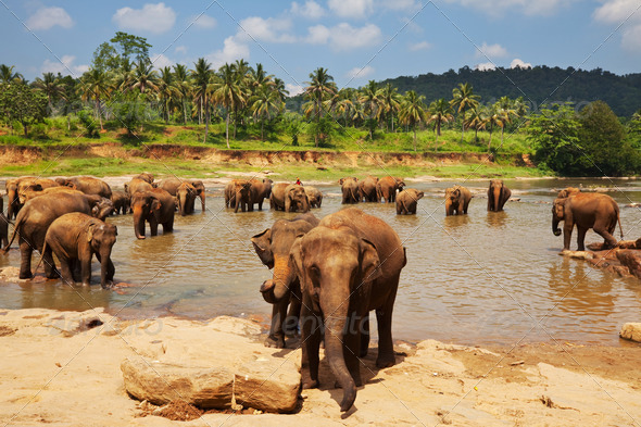 Elephant on Sri Lanka - Stock Photo - Images