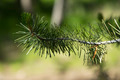 Pine Branch - PhotoDune Item for Sale
