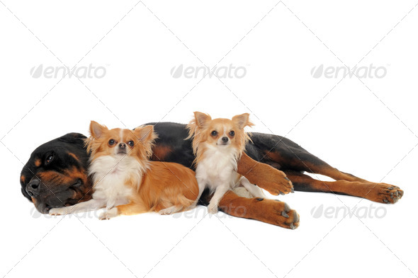 rottweiler and two chihuahuas - Stock Photo - Images