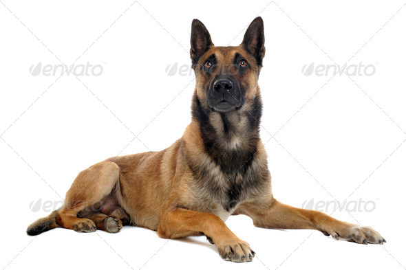 malinois - Stock Photo - Images