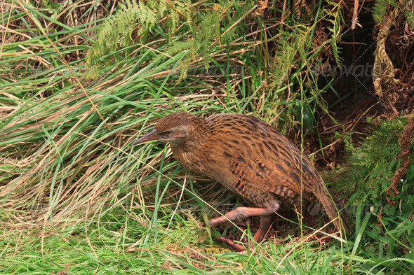Weka in high grass - Stock Photo - Images