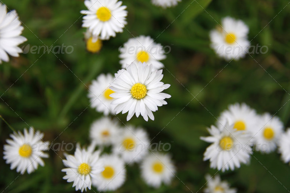 Daisies in a garden - Stock Photo - Images