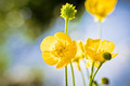 Buttercup Flower - PhotoDune Item for Sale